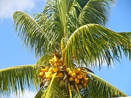 Que faut-il connaître pour cultiver un cocotier ?